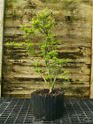 Pre Bonsai Tree Japanese Maple Shishigashira JMS3G 227B