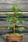 Bonsai Tree Dawn Redwood DR 724H