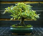 Bonsai Tree Specimen Imported Japanese Maple JMST 920A