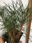 10 Japanese Black Pine Seedlings Trees Bonsai Or Landscape