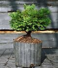 Bonsai Tree Hinoki Cypress HCB1G 809C