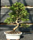 Bonsai Tree Satsuki Azalea Wakaebisu SAW 809A