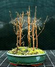 Bonsai Tree Dawn Redwood Grove DRG5 1215A
