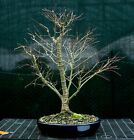Bonsai Tree Japanese Maple Arakawa Corkbark Specimen JMAST 1215A