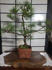 Japanese Black Pine Bonsai 29 Years Old Pot Included