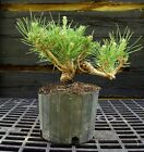 Pre Bonsai Tree Japanese Black Pine JBP1G 830E