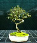 Bonsai Tree Chinese Elm CE 118H