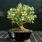Harlandi Boxwood Bonsai Tree HB 128B