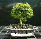 Kingsville Boxwood Bonsai Tree KB 128B