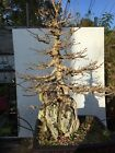 Trident Maple Specimen Bonsai Tree Root Over Rock