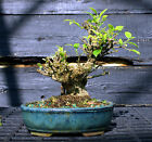 Golden Gate Ficus Indoor Bonsai Tree Tropical Import GGF 807A