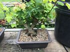 Trident Maple Bonsai Turtle Back twin