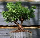 Bonsai Tree Hinoki Cypress HCB1G 809A