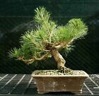Bonsai Tree Japanese Black Pine JBP 226E