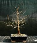 Bonsai Tree Dawn Redwood DR 1215H