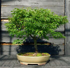 Bonsai Tree Japanese Maple Sharpes Pygmy JMSP 807A