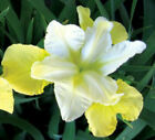 Butter Sugar Siberian Iris Bulb Root Rhizome Plant Perennial Beautiful Flowers