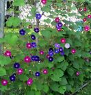 Morning Glory Tall Mixed Wildflower Seeds NON GMO FREE SHIPPING