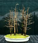 Bonsai Tree Dawn Redwood Grove DRG7 1215