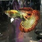 2 PAIRS RED DRAGON DUMBO (BIG EAR) GUPPY, EXTREMELY RARE, LIVE FISH