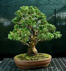Specimen Bonsai Tree Hinoki Cypress HCST 1216E