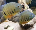 2 PACK RED SPOTTED GREEN SEVERUM CICHLID (Heros severus), VERY NICE, LIVE FISH