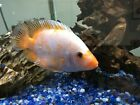 Red Devil 5 inches Beautifully Colored South American Cichlid