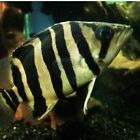 4 pack INDONESIAN (INDO) TIGER DATNOID, IT, GOLD, TIGERFISH, RARE, MONSTER FISH