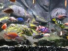 """SALE! (16) ASSORTED AFRICAN CICHLIDS-WITH 2  BRISTLENOSE PLECO 1"""" CLEANER FISH!!"""