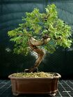 Specimen Bonsai Tree Hinoki Cypress HCST 1216B