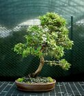 Specimen Bonsai Tree Hinoki Cypress HCST 1216A