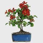 Brussels Live Japanese Red Quince Outdoor Bonsai Tree 3 Years Old 10 to 12 Ta