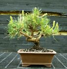 Bonsai Tree Japanese Black Pine JBP 417C
