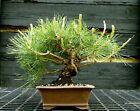 Bonsai Tree Japanese Black Pine JBP 417E
