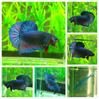 LIVE BETTA FISH - Red Blue Classic - Big Strong (Halfmoon Plakat) - MALE A08