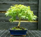 Bonsai Tree Japanese Maple Sharpes Pygmy JMSP 429B