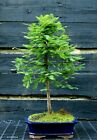 Bonsai Tree Dawn Redwood DR 515A