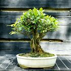 Golden Gate Ficus Indoor Bonsai Tree Tropical Import GGF 515A