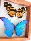 2 REAL FRAMED BUTTERFLY BLUE MORPHO CACICA  BIG TIGER PAPILIO ZAGREGUS AMAZING