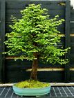 Bonsai Tree Dawn Redwood DRST 1216B