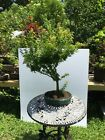 Japanese Maple Bonsai Large