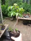 Bonsai Tree Japanese Maple pre bonsai live Tree