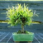 Bonsai Tree Narrow Leaf Ficus NLF 515G