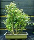 Bonsai Tree Red Maple Clump RMC 613K