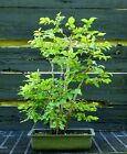 Bonsai Tree Japanese Hornbeam Clump JHBC 613K