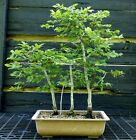 Bonsai Tree Korean Hornbeam KHB 613K