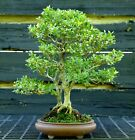 Morris Midget Boxwood Mother Daughter Bonsai Tree MMB 613K
