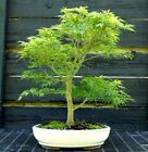 Bonsai Tree Japanese Maple Sharpes Pygmy Specimen JMSPST 613A