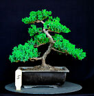 Japanese procumbens na na Juniper bonsai tree  5