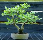 Bonsai Tree Korean Hornbeam KHB 617K